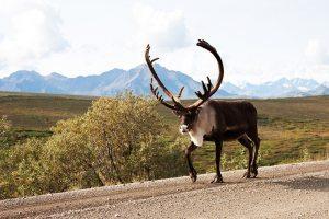 Wildlife sighting of reindeer in Denali National Park, AK