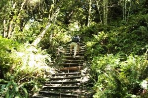 Hiker takes a ladder to climb steep section of trail in Olympic National Park.