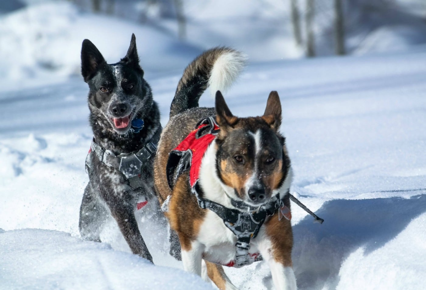 2 dogs running in the snow