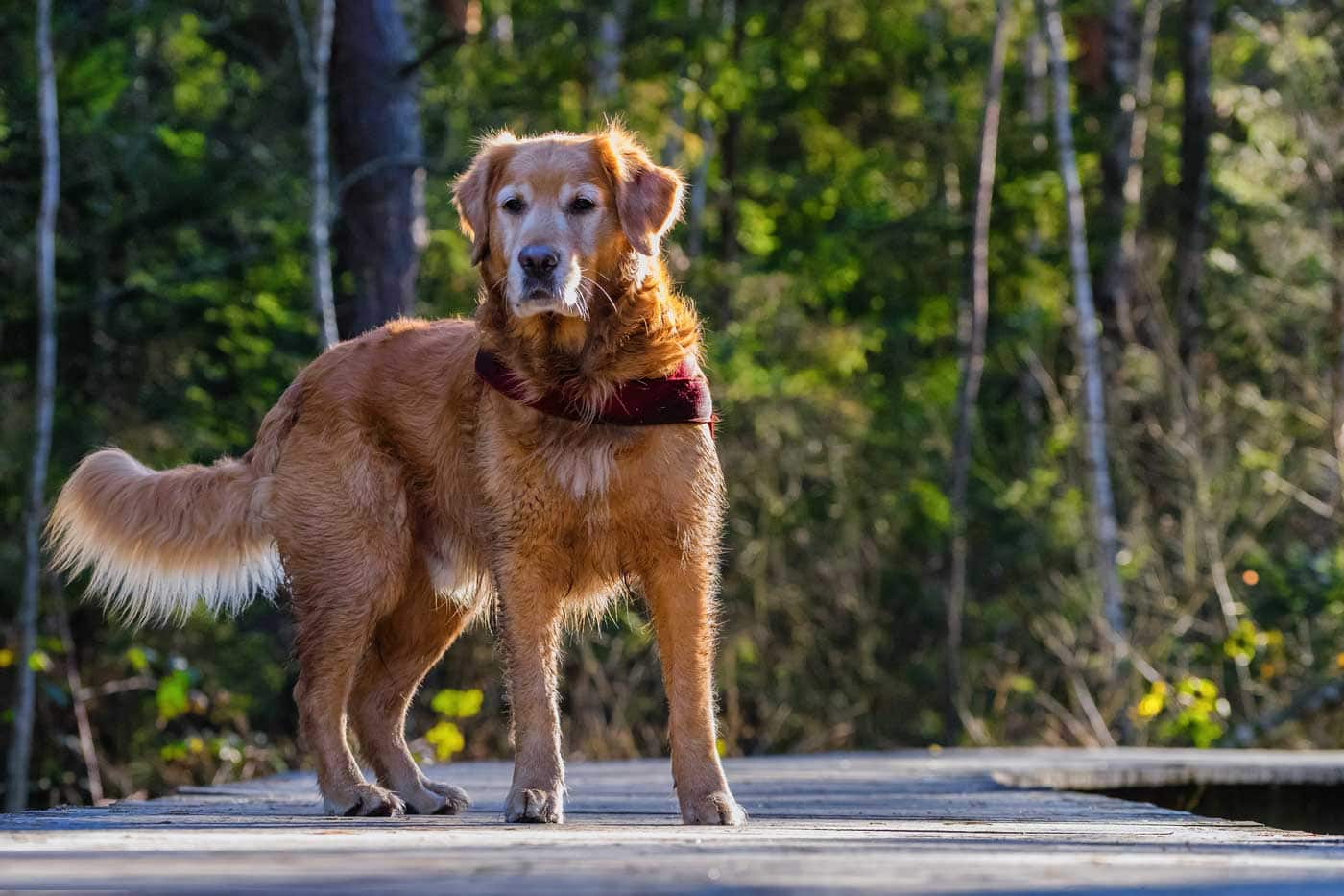 Losing a canine adventure partner - dog on a dock